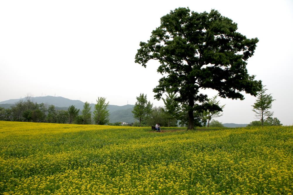 the-oak-hill-rapeseed-field